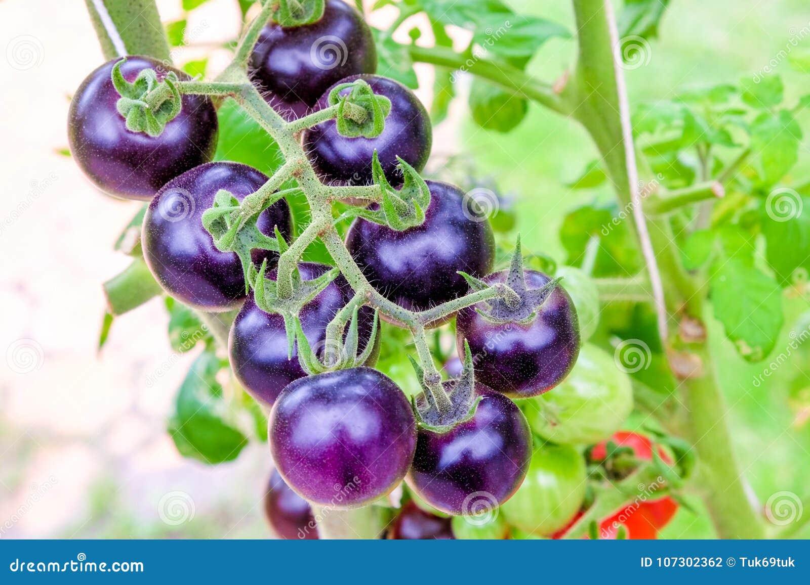 Tomates pourpres d héritage sur la vigne dans un jardin