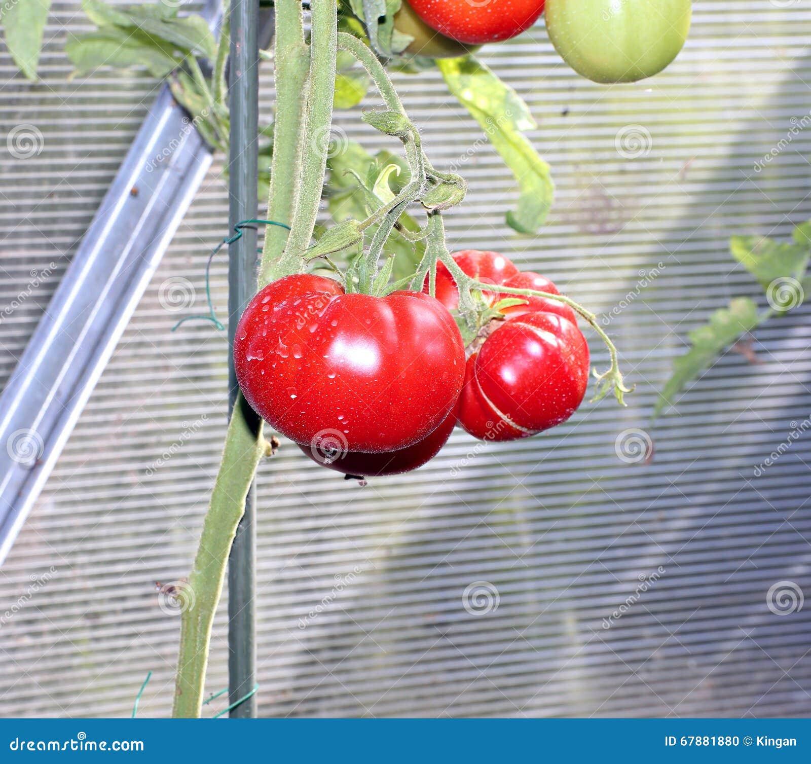 Tomates rojos en un invernadero