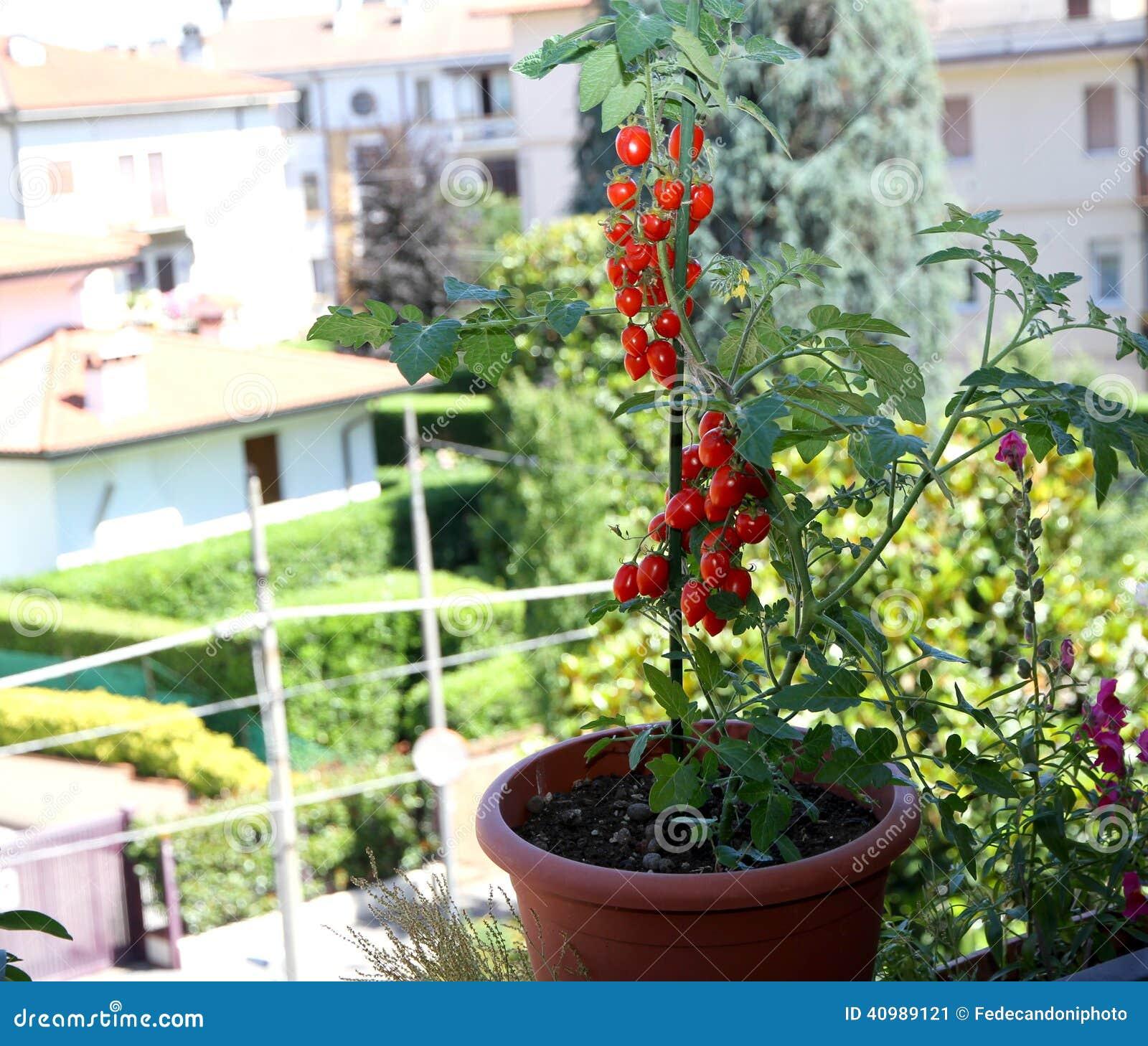 tomates rouges dans des pots sur le balcon de la terrasse d 39 une maison dedans image stock. Black Bedroom Furniture Sets. Home Design Ideas
