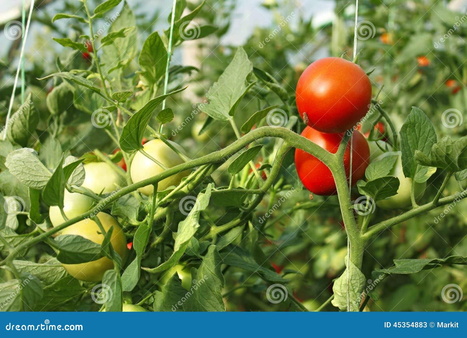 Tomates rouges et vertes en serre chaude