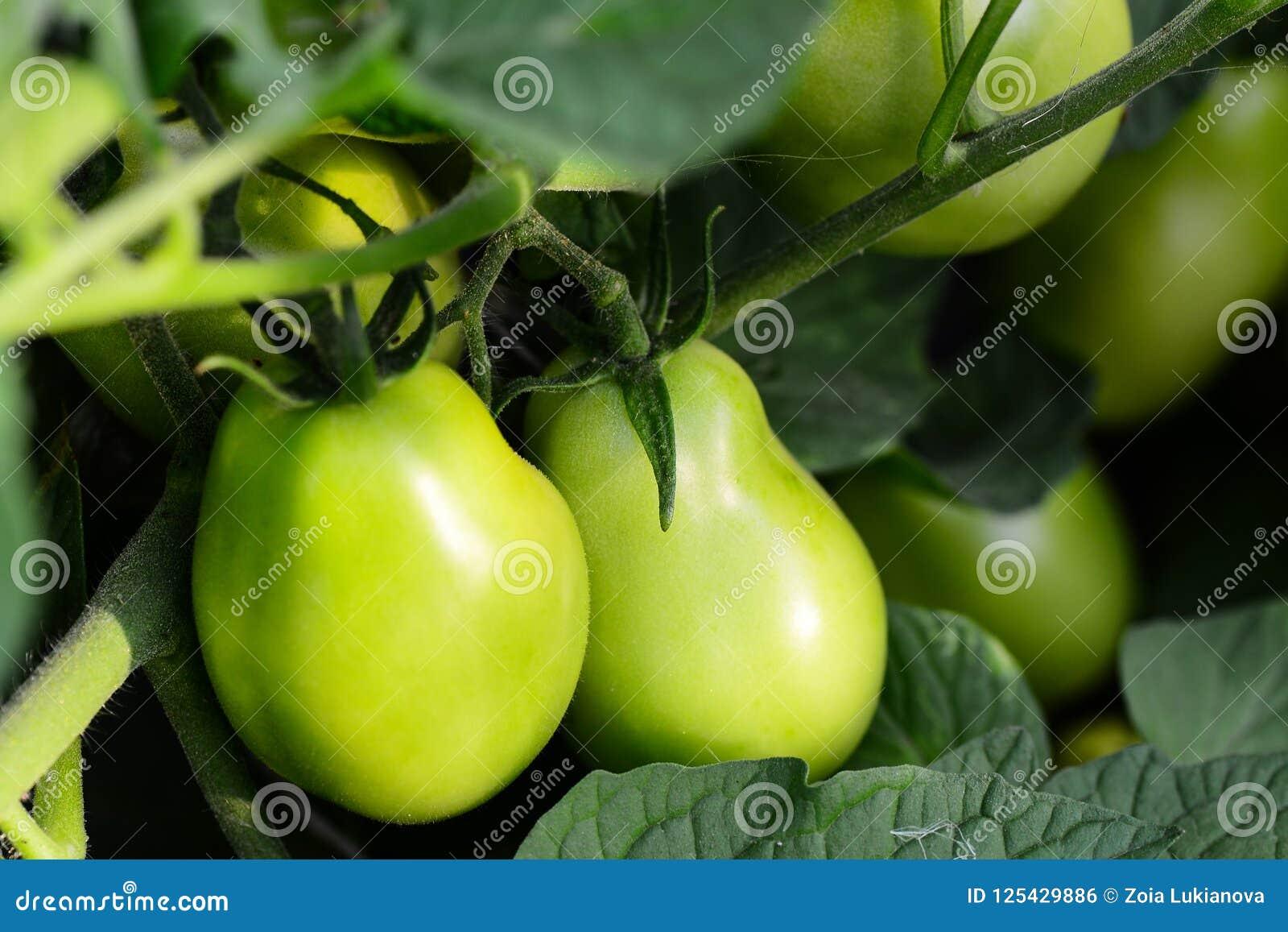 Tomates verdes en un huerto farming Fondo del huerto primer