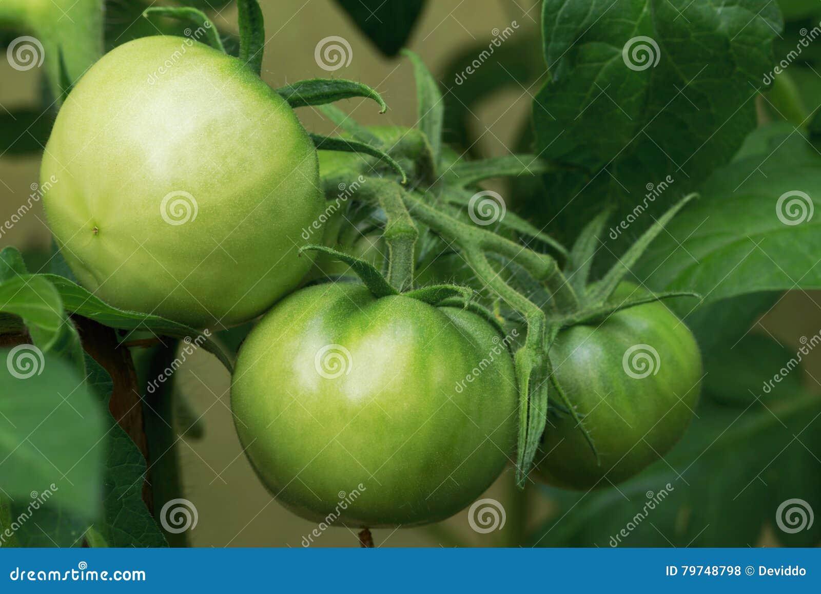 Tomates verdes en un jardín