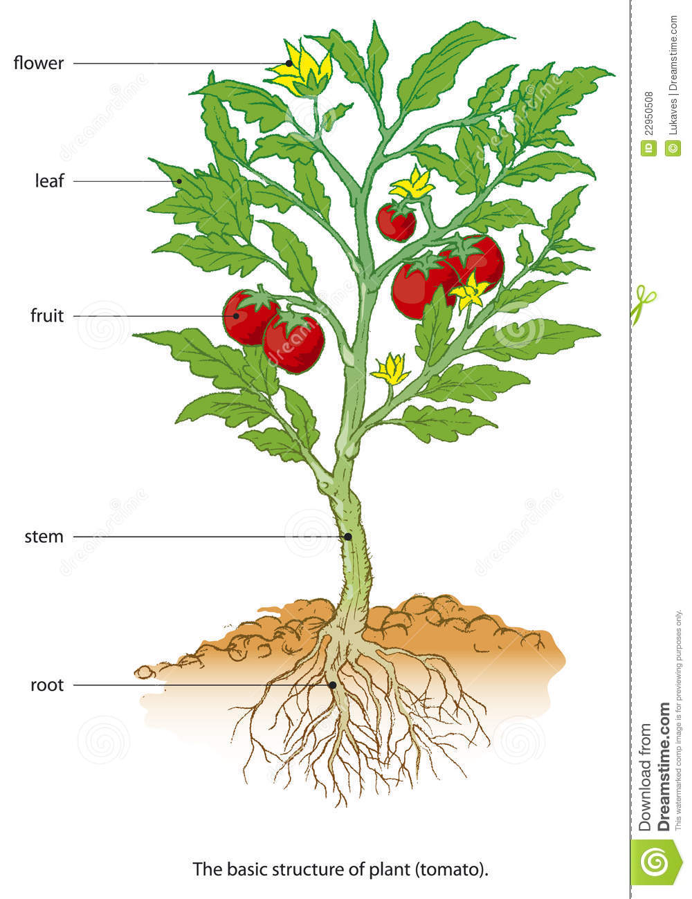 Diagram Tomato Plant Ask Answer Wiring Strawberry Stock Vector Illustration Of Ecology Germinate 22950508 Growth Cycle