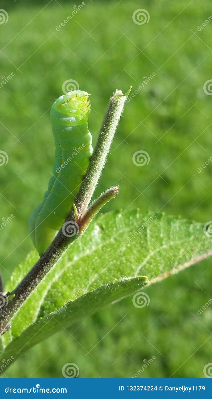 Tomato Caterpillar Having a Snack
