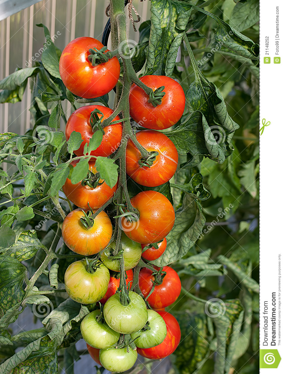Tomato Cluster On Vine Stock Photography Image 21148252
