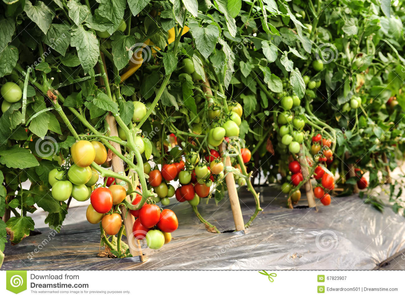 Cultivation Of Tomatoes 28 Images Growing Tomatoes Tomato Growing Tips Cultivation Of