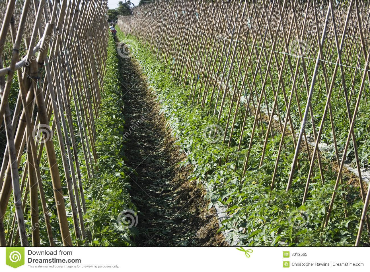 X Rows >> Tomato field stock image. Image of agriculture, health - 8012565