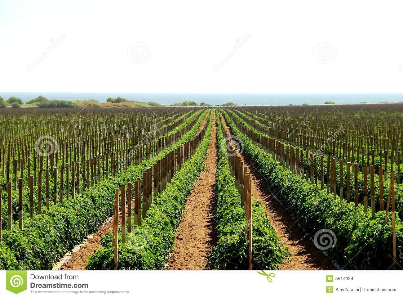 Tomato fields in California
