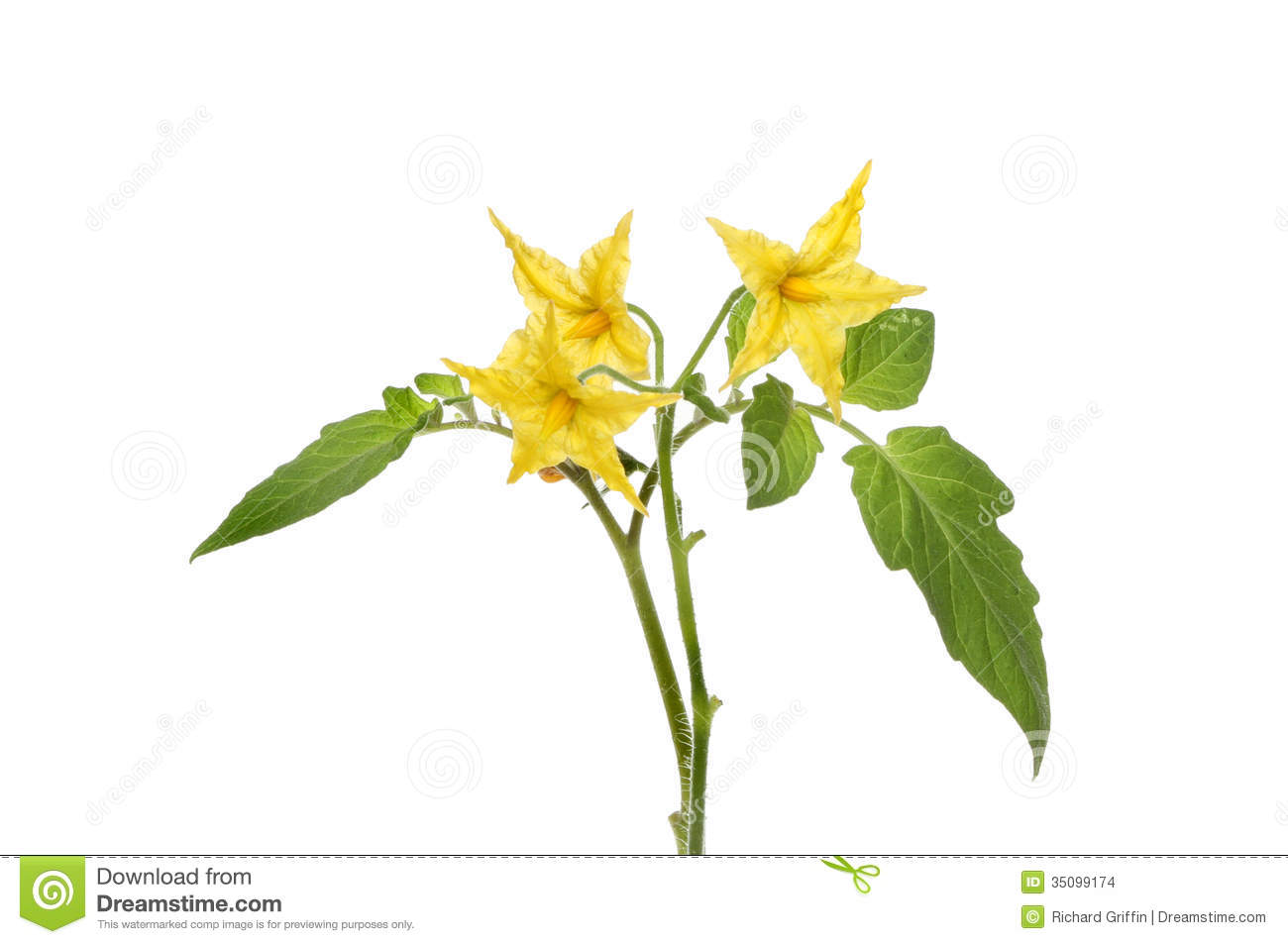 Tomato flowers stock photo image of pentagon yellow 35099174 download comp mightylinksfo