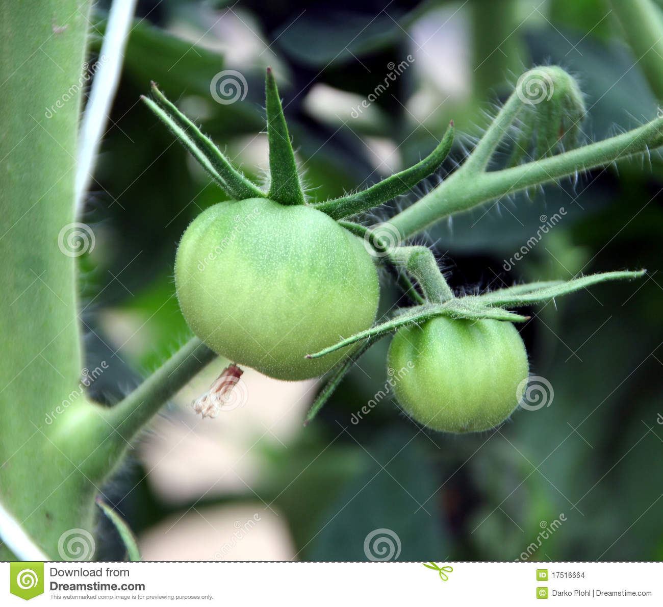 is the tomato a fruit or a vegetable fresh fruit