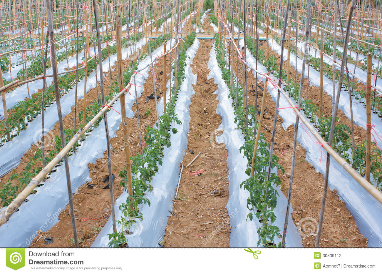 Tomato Garden Stock Photography Image 30839112