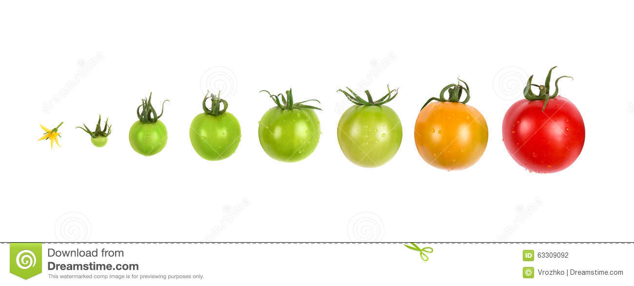 Stock Photo Tomato Growth Evolution Progress Set Isolated White Background Growing Image63309092 on Plant Life Cycle Stages