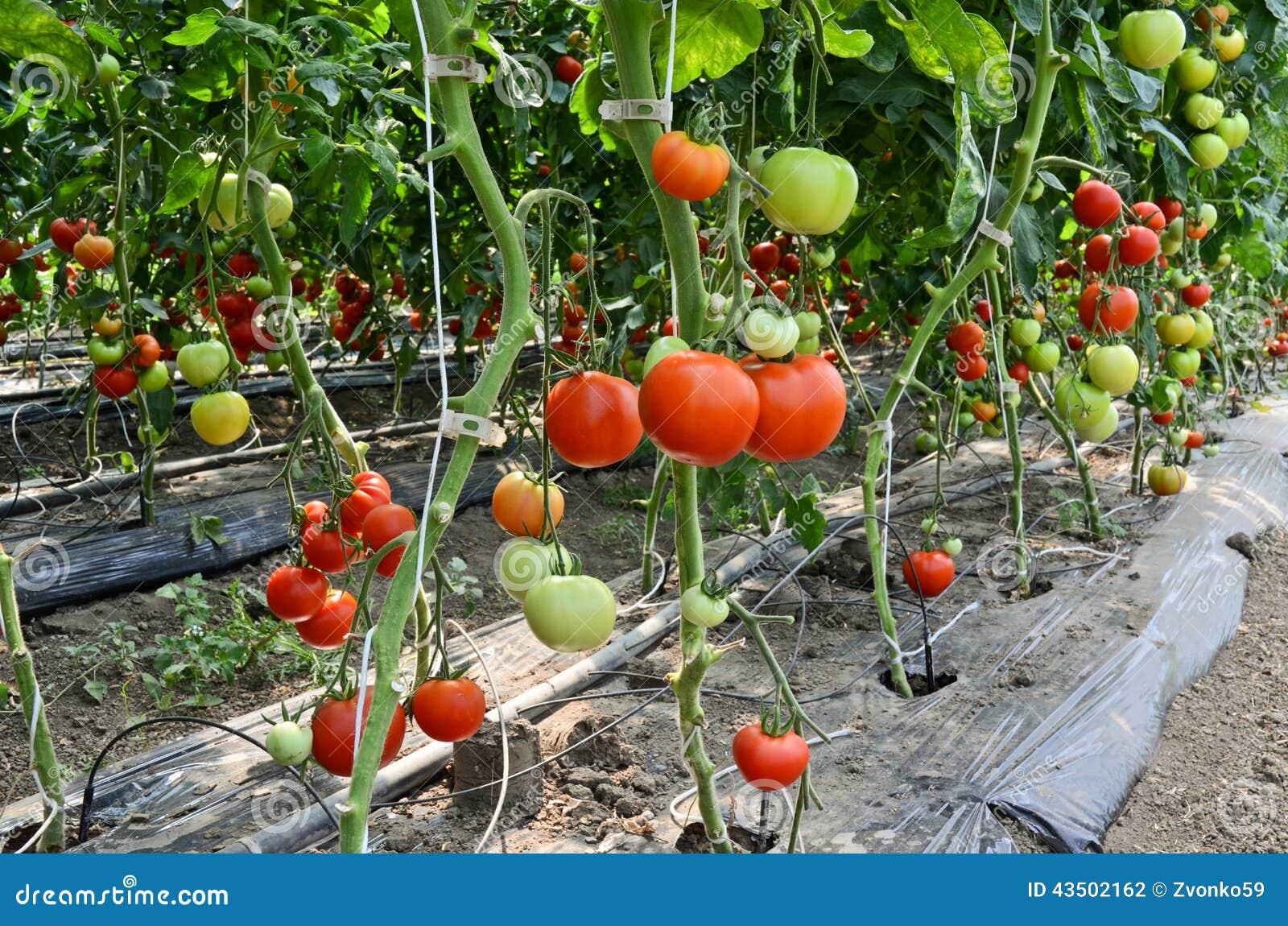 business plan for tomato farming