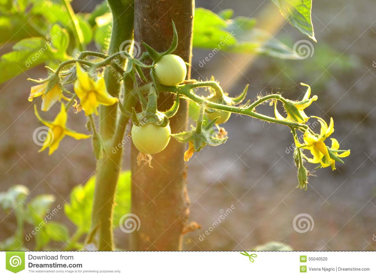 Tomato Plant With Flowers And Fruits And Sunrays Stock ...