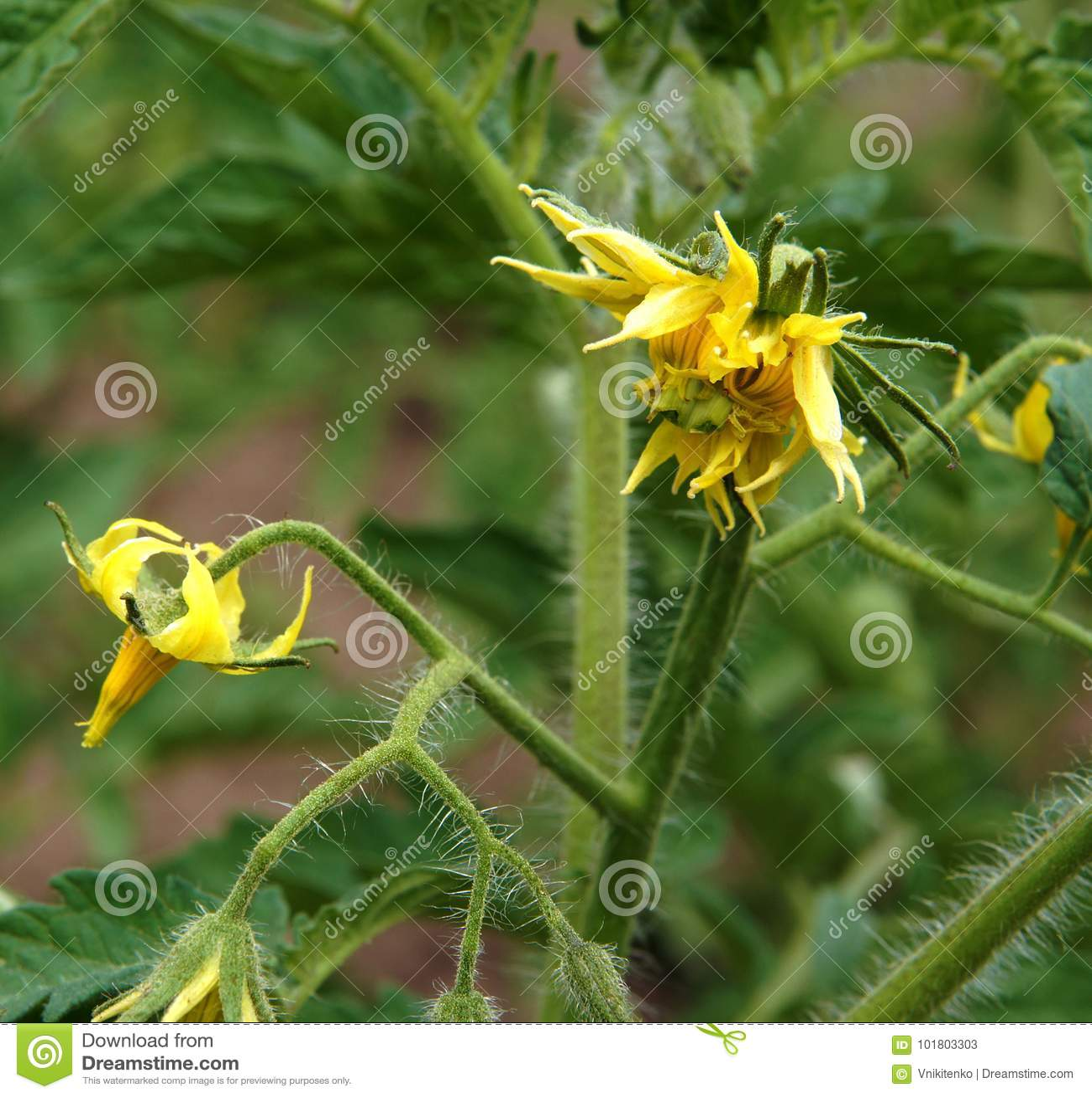 Tomato Plant Fragment Stock Image Image Of Gardening 101803303