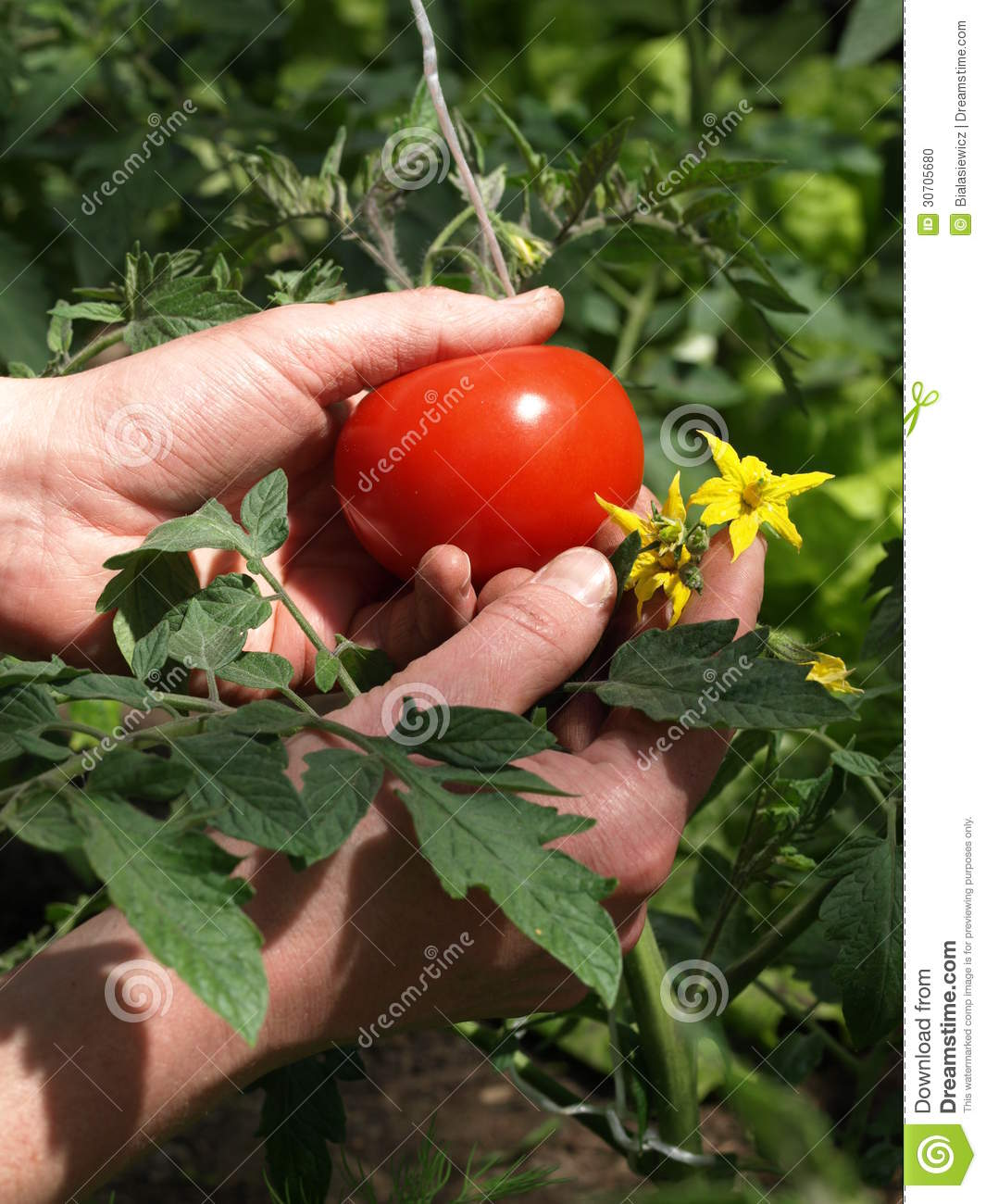 Tomato From Flower To Fruit | how to grow tomato plants ... Tomato Plant Flower To Fruit