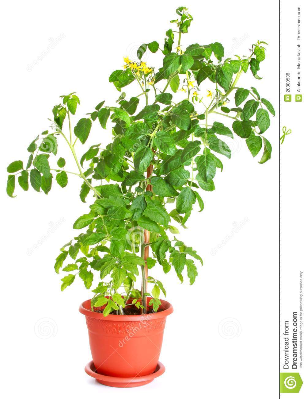 Tomato plant growing in a flower pot stock photo image of green photosynthesis 20300538 - Seven tricks for healthier potted plants ...