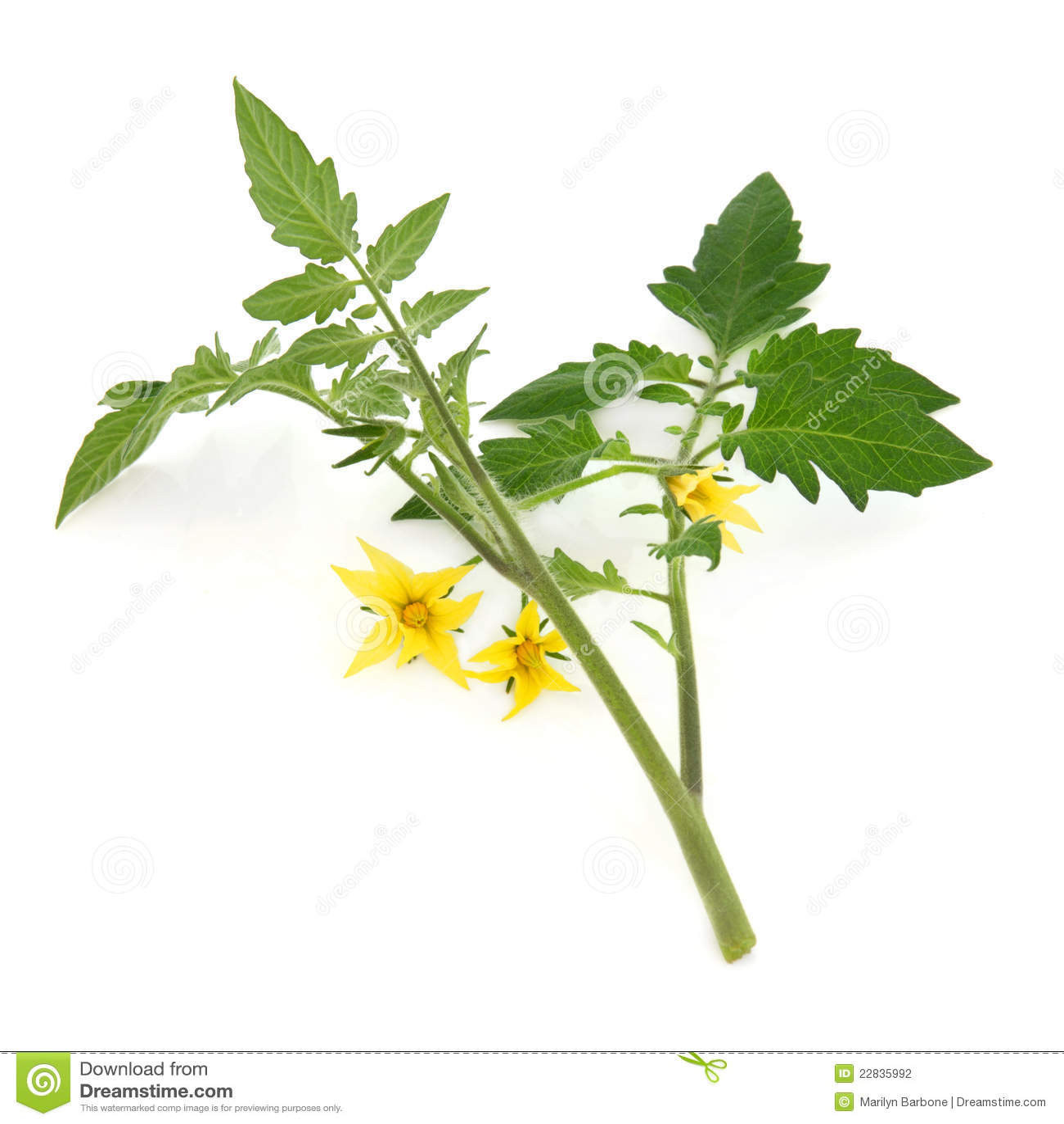 Tomato Plant Anatomy