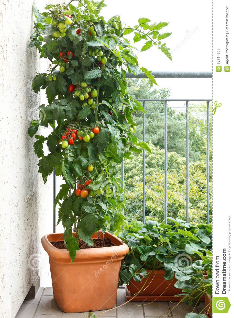 tomato plant pot balcony strawberry stock image image of cultivation house 67314905. Black Bedroom Furniture Sets. Home Design Ideas