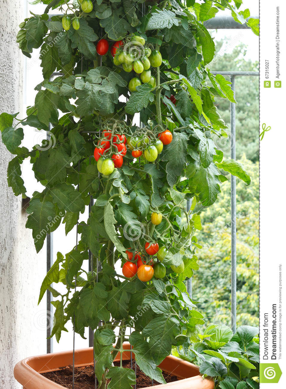 tomato plant pot balcony tomatoes stock image image of farming health 67315027. Black Bedroom Furniture Sets. Home Design Ideas