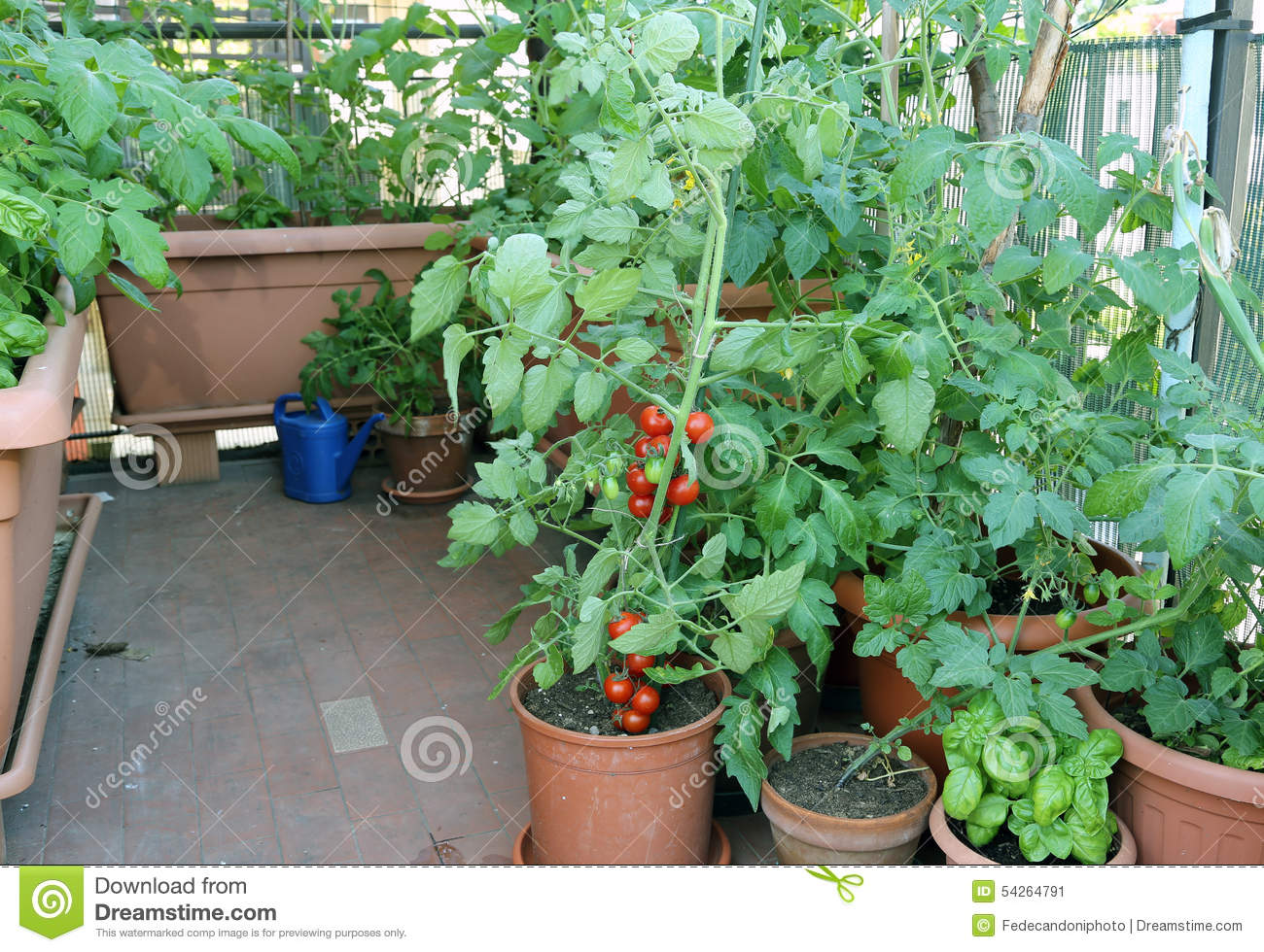 Tomato plant in the pot on the terrace of a house in the - Planter tomates cerises en pot ...