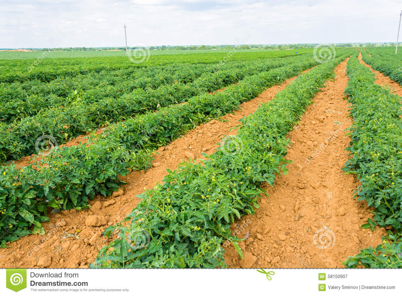 Image gallery tomato plantation for Plantation tomate