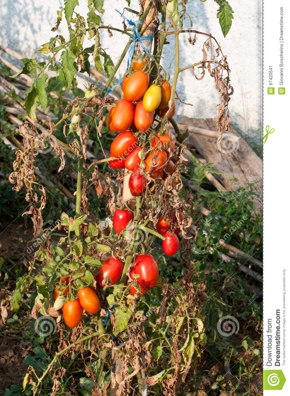 Tomato Plants Grown In A Home Garden Stock Image - Image of ...
