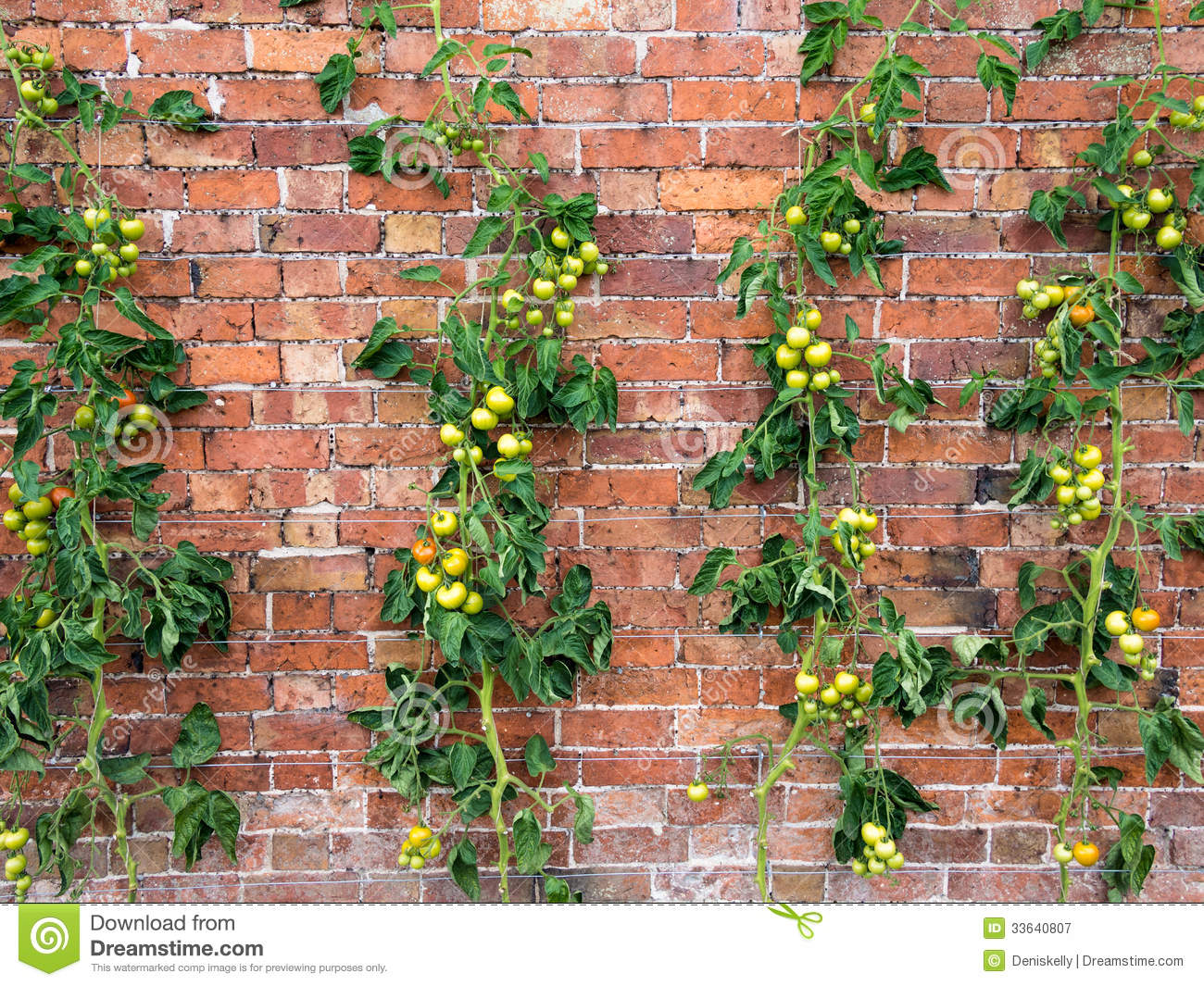 Tomato vines growing royalty free stock photography Tomato garden design