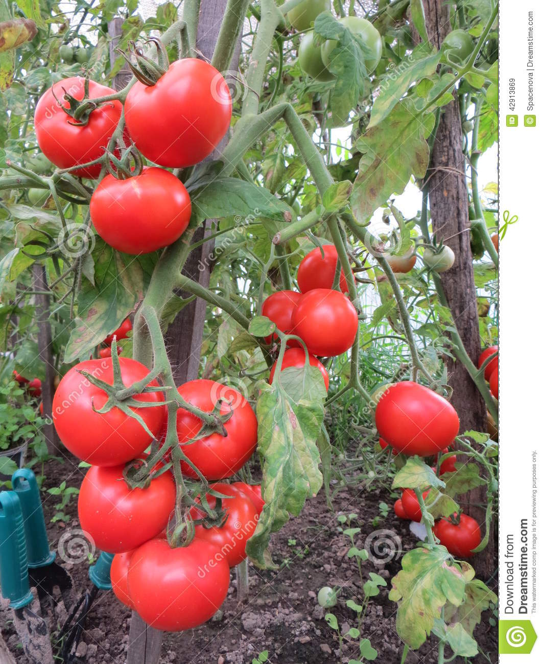 Tomatoes In A Bio Garden Stock Image Image Of Clusters 42913869