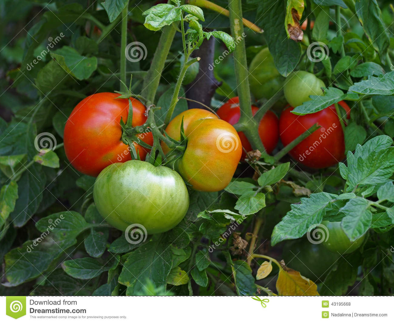 how to grow tomatoes in garden you tube