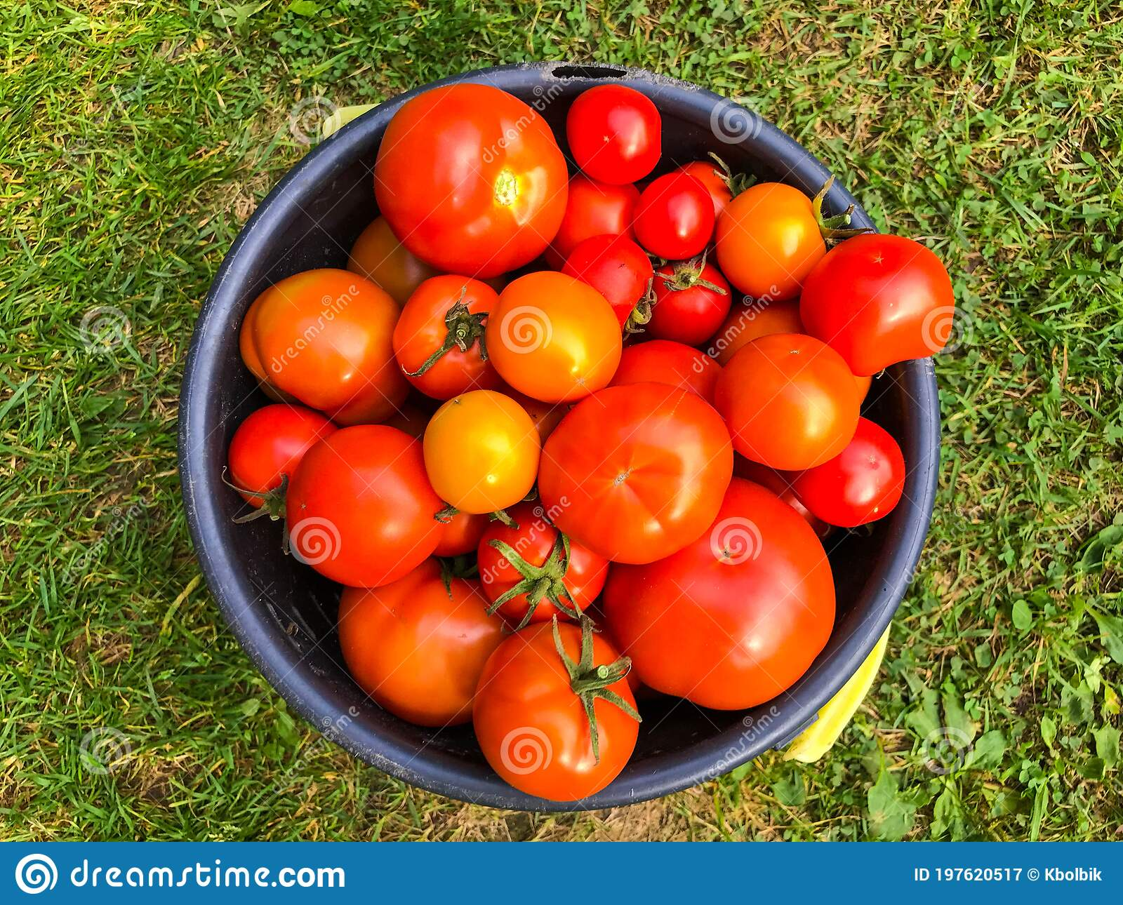 Tomatoes Lie In A Blue Bucket On A Background Of Grass Vegetables Are Collected From Greenhouses And Garden Beds Harvesting In Stock Image Image Of Food Leaf 197620517