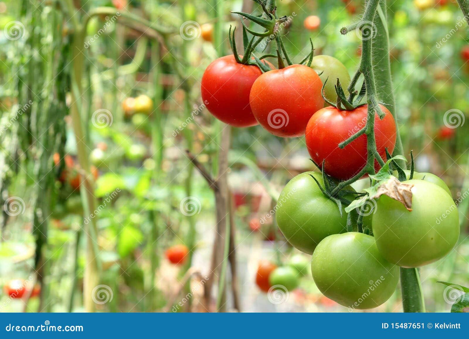 Tomatoes on Tree