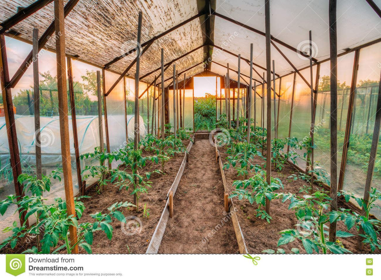 Tomatoes Vegetables Growing In Raised Beds In Vegetable Garden A ...