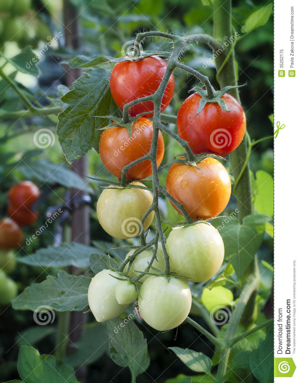 how to grow tomatoes in ontario