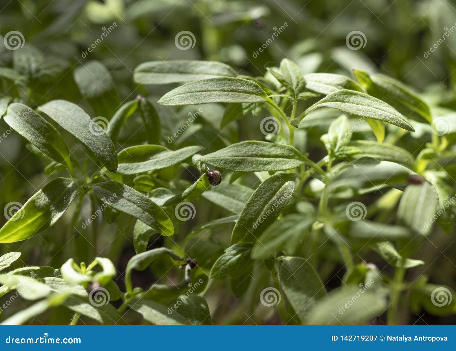 Tomatplantor närbild, växa för grönsak hemma