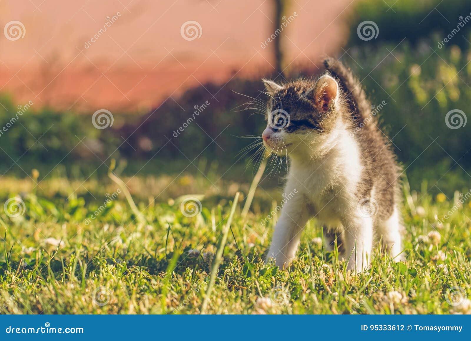 Tomcat с белизной и мехом tabby идет на зеленую траву