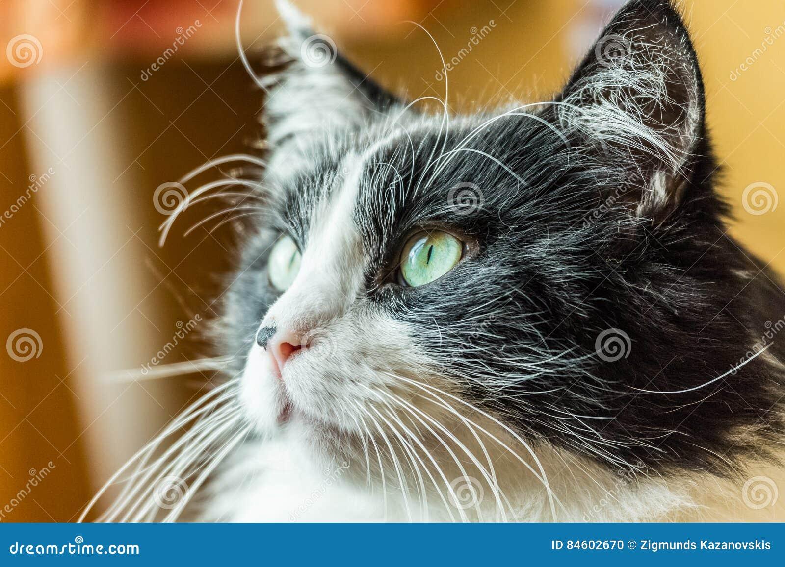 Tomcat portret