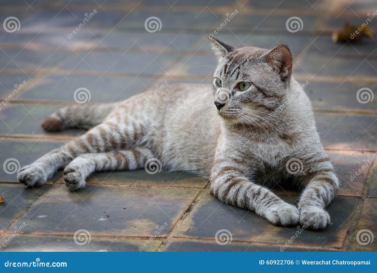 Tomcat regardant quelque chose