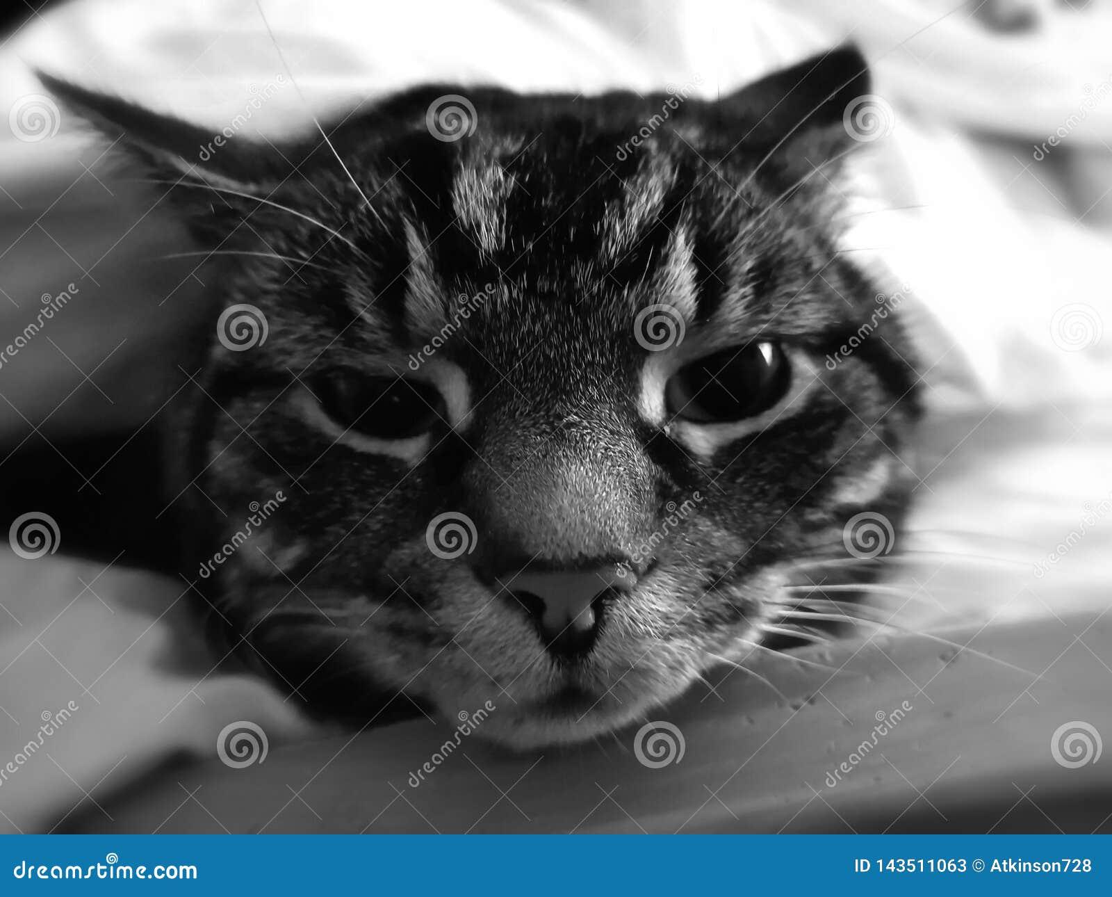 Tomcat Tabby, zwierzę domowe -/