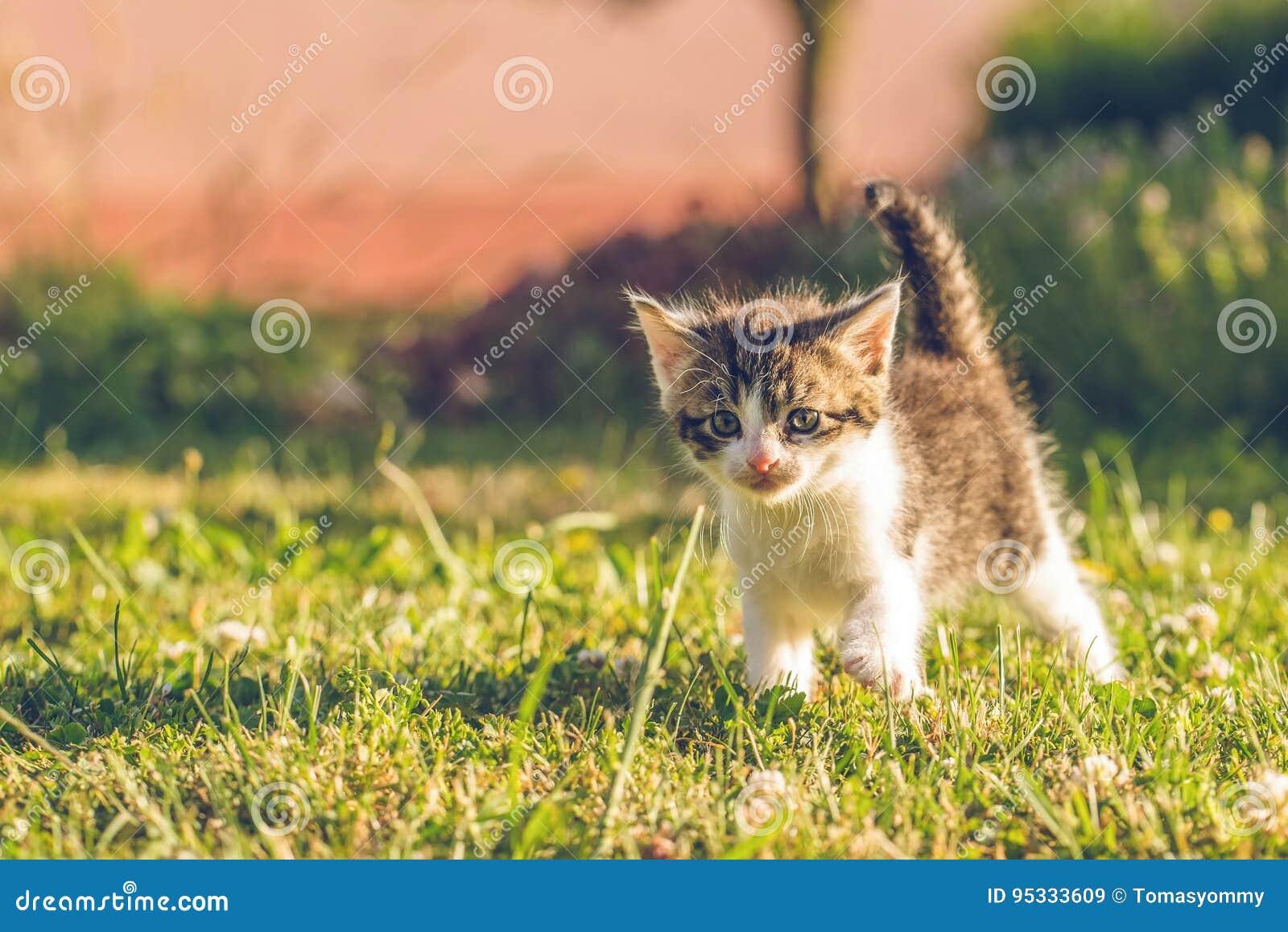 Tomcat z bielem i tabby futerkowymi spacerami na trawie