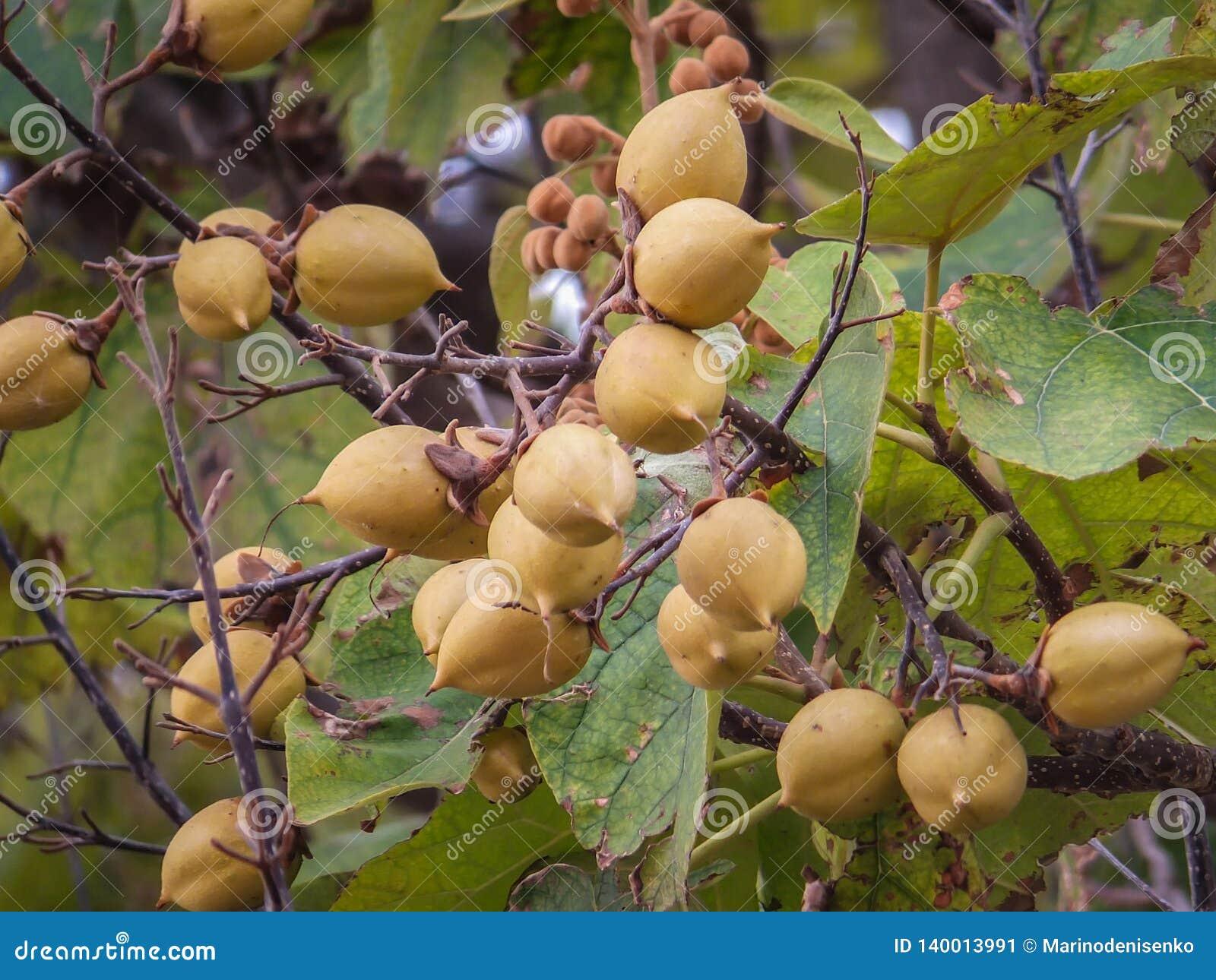 Tomentosa de Paulownia ou arbre d impératrice ou arbre de princesse, ou fruits de brun d arbre de digitale sur les branches