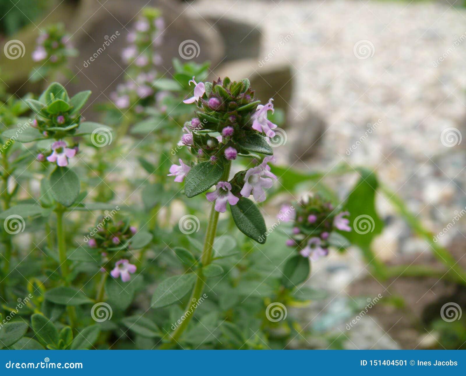 Tomillo floreciente