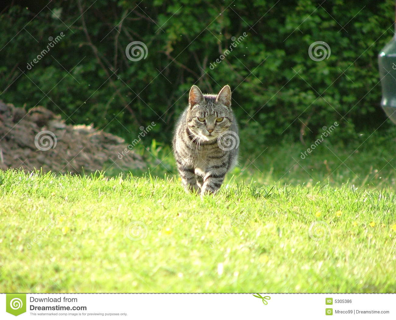 Download Toms che viene a casa fotografia stock. Immagine di animale - 5305386
