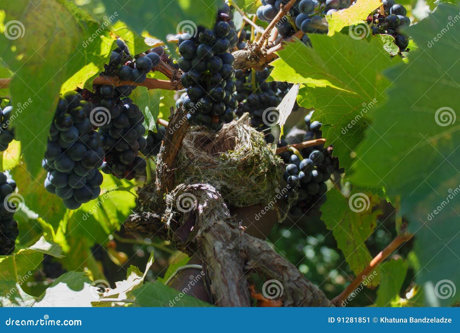 Tomt rede för fågel` s bland svarta druvor och vinranka
