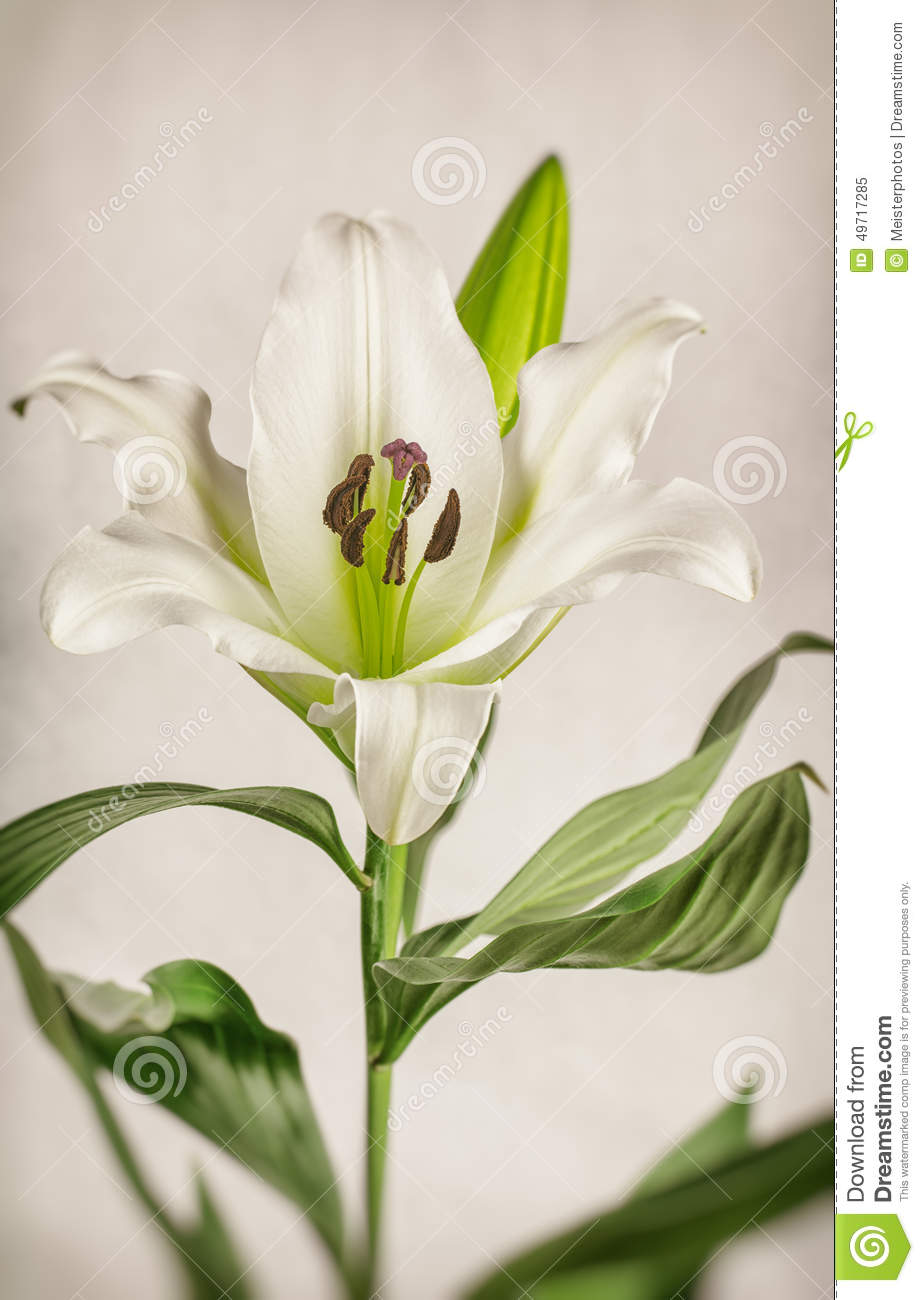Toned white lily plant stock photo image 49717285 blur film lily oriental plant processing toned vintage white dhlflorist Choice Image