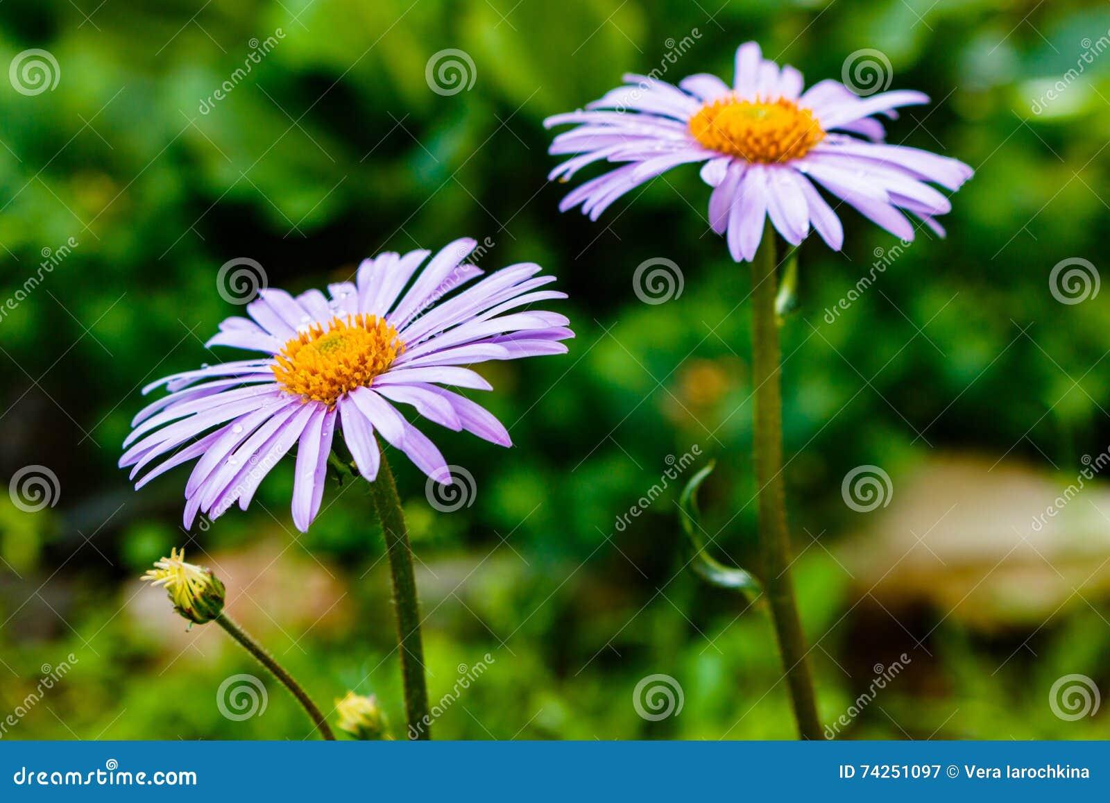 Tongolensis bleuâtre d aster, Compositae de famille Deux fleurs pourpré