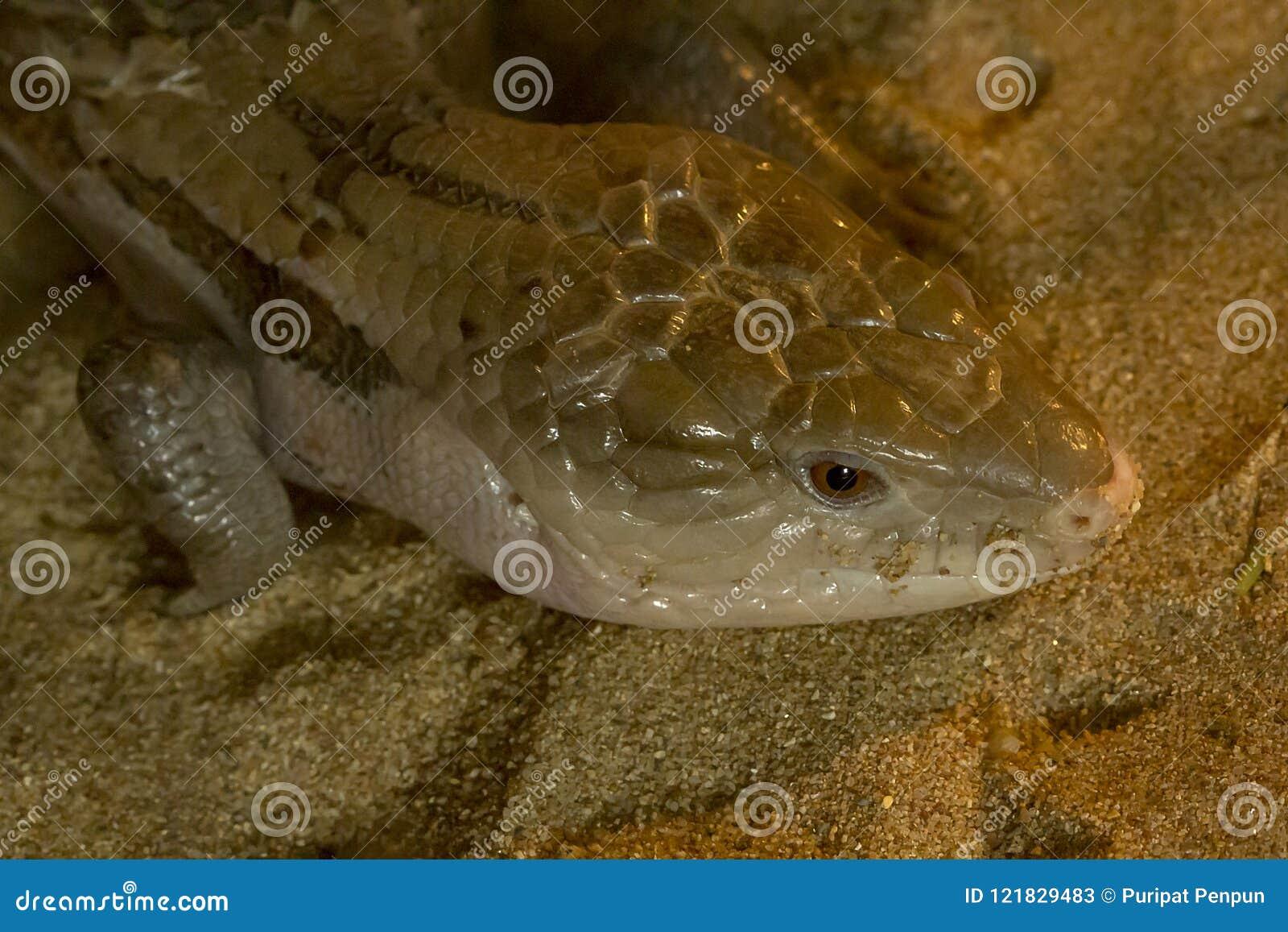 Tongued jaszczurka jest wielkim czaszką z ampuły głową Ja ` s gładki