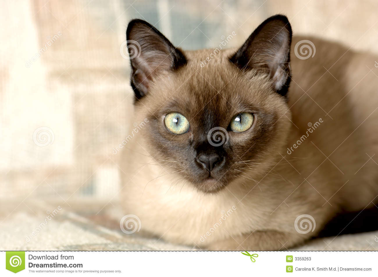 Tonkinese Cat Stock s Image