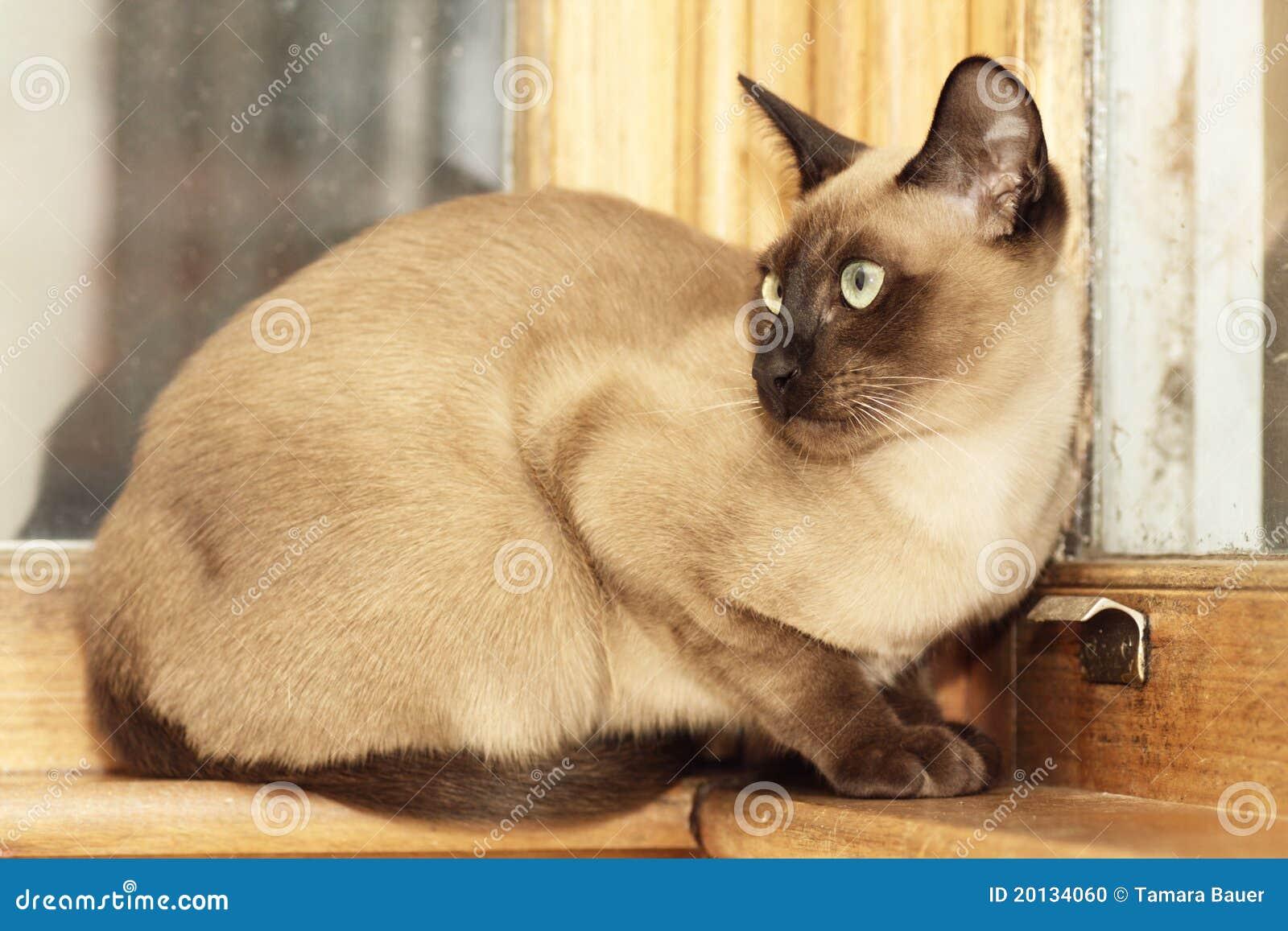 Tonkinese katt