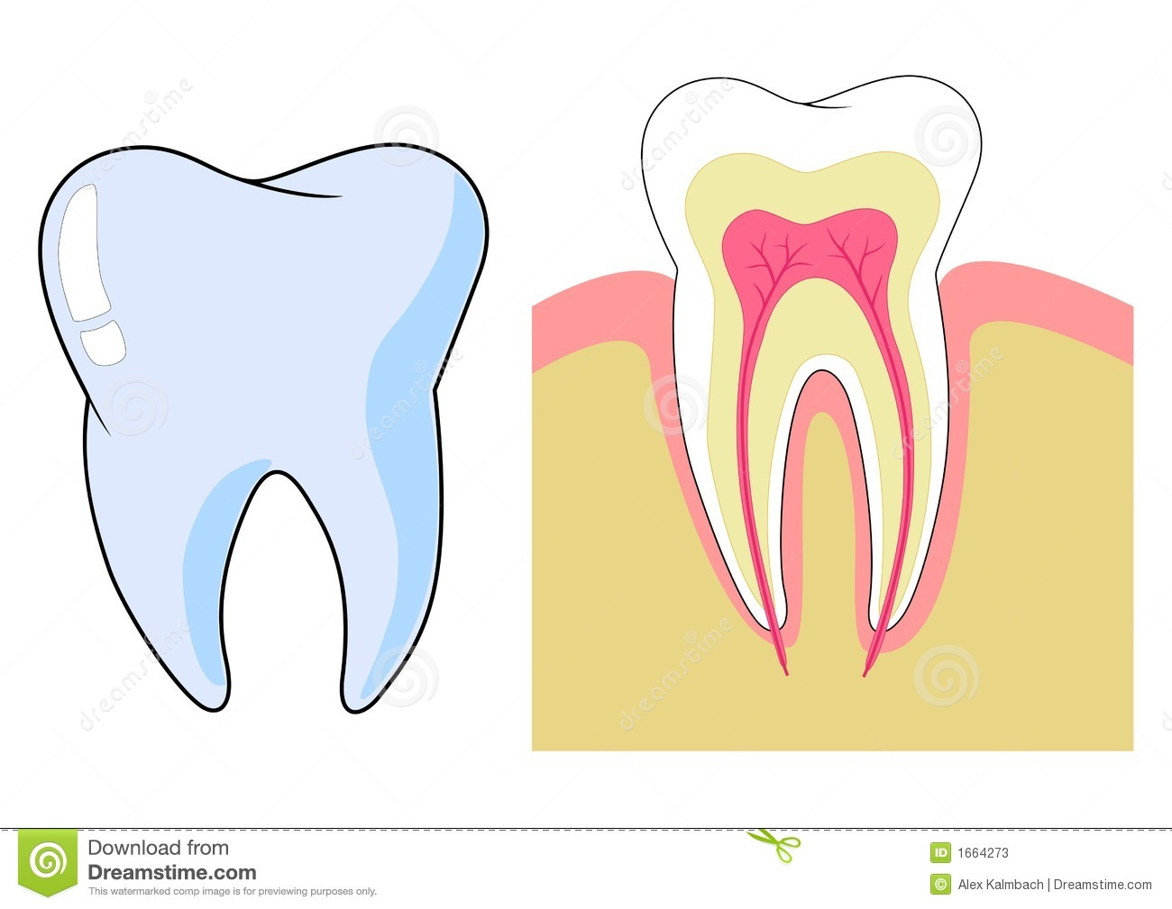 Tooth stock vector. Illustration of care, anatomy, anatomical - 1664273